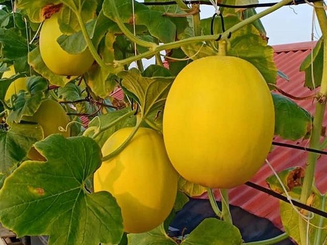 """Vườn dưa sai trĩu quả, """"đếm mỏi tay"""" trên sân thượng của mẹ đảm Hà Nội - 7"""