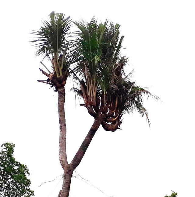 """Chiêm ngưỡng cây dừa """"lạ"""" có nhiều ngọn trông như bàn tay người - 2"""