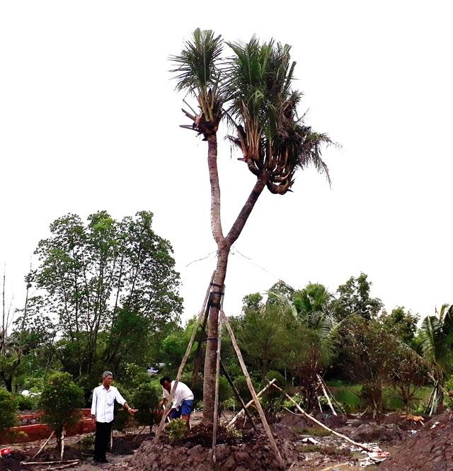 """Chiêm ngưỡng cây dừa """"lạ"""" có nhiều ngọn trông như bàn tay người - 1"""