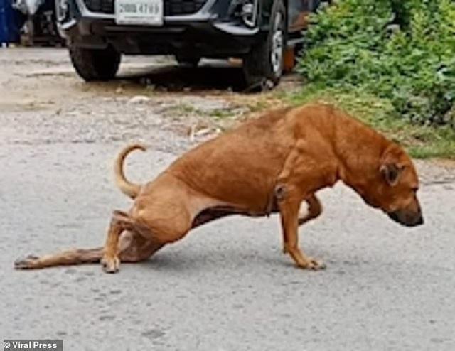 Chó giả què trên đường phố để xin ăn - 2