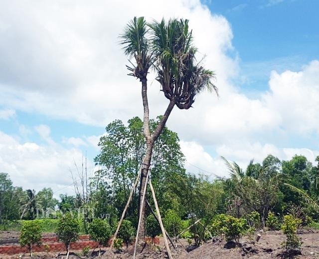 Độc nhất Cà Mau: Cây dừa 14 đọt cực lạ, trả 180 triệu đồng chưa bán - 1