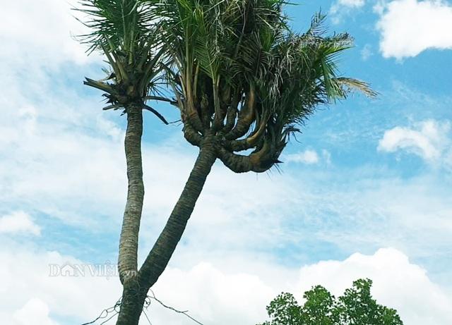 Độc nhất Cà Mau: Cây dừa 14 đọt cực lạ, trả 180 triệu đồng chưa bán - 2