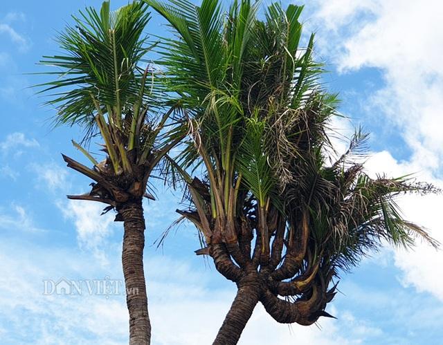 Độc nhất Cà Mau: Cây dừa 14 đọt cực lạ, trả 180 triệu đồng chưa bán - 3