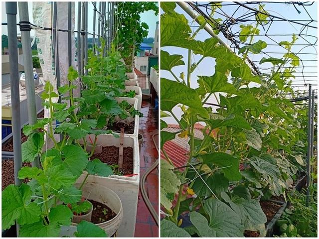"""Vườn dưa sai trĩu quả, """"đếm mỏi tay"""" trên sân thượng của mẹ đảm Hà Nội - 2"""