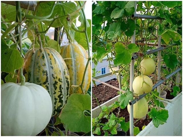 """Vườn dưa sai trĩu quả, """"đếm mỏi tay"""" trên sân thượng của mẹ đảm Hà Nội - 6"""