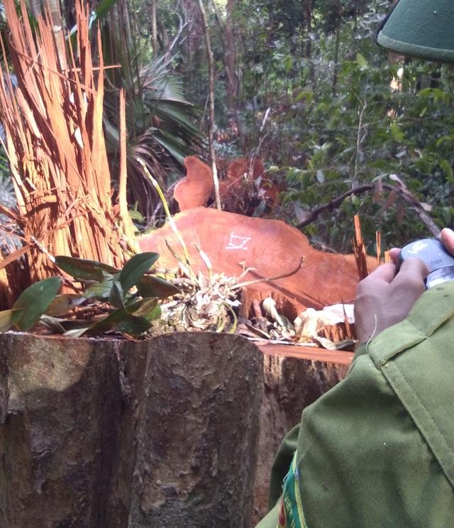 Tạm giam 3 đối tượng trong vụ phá rừng quy mô lớn tại Vườn quốc gia Pù Mát - 1