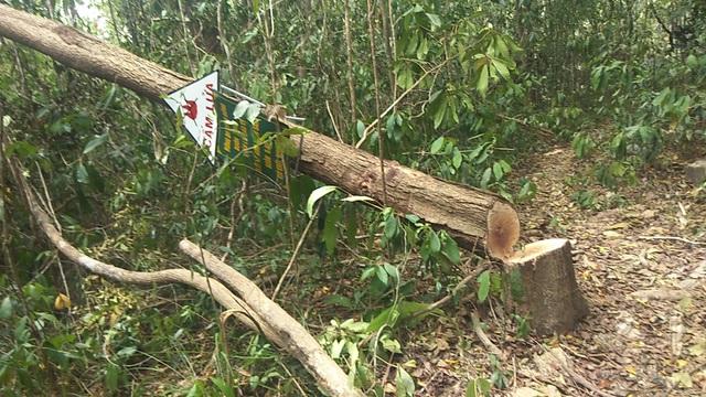 """Tiếng thét đau đớn của rừng xanh Tây Nguyên: """"Nếu đủ yếu tố sẽ khởi tố""""! - 1"""