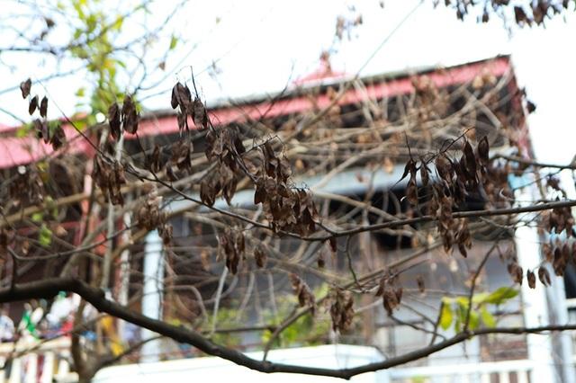 Hàng sưa nghi bị đầu độc ở Hà Nội đã khô héo - 3