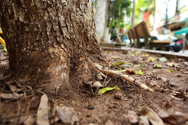Hàng sưa nghi bị đầu độc ở Hà Nội đã khô héo - 6
