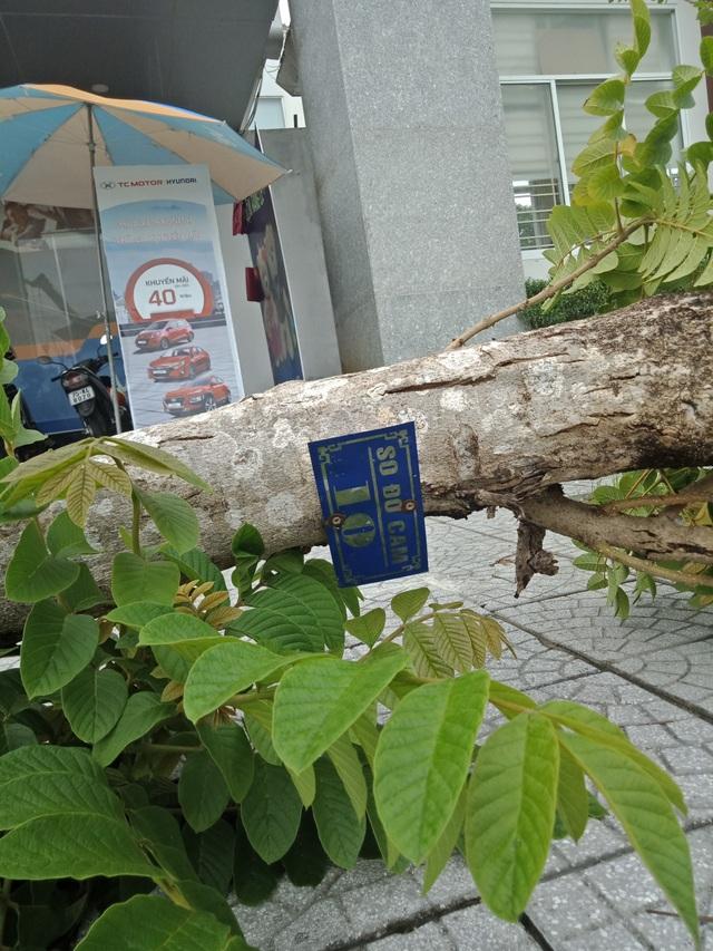 Cây xanh đổ la liệt tại Thừa Thiên Huế - 8