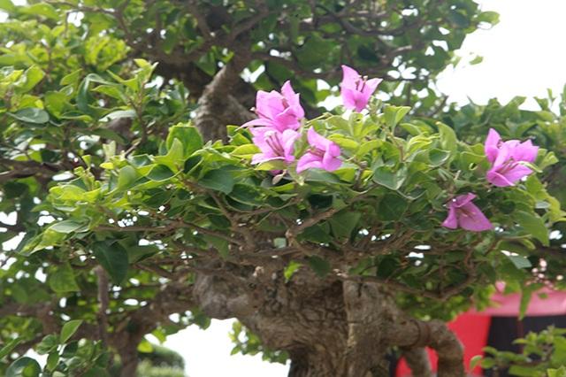 Ngắm cây hoa giấy bonsai được tạo tác như thác đổ - 11