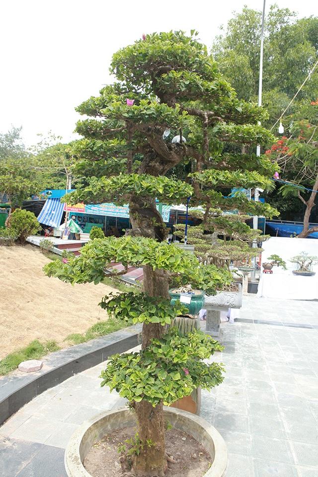 Ngắm cây hoa giấy bonsai được tạo tác như thác đổ - 4