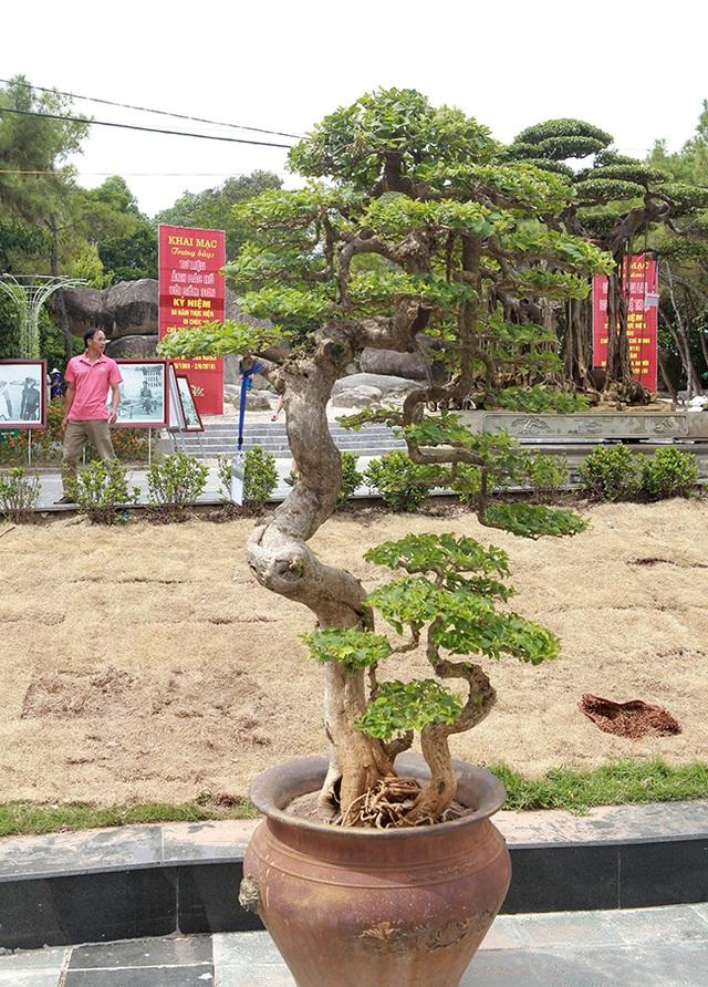 Ngắm cây hoa giấy bonsai được tạo tác như thác đổ - 5