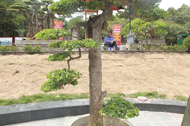 Ngắm cây hoa giấy bonsai được tạo tác như thác đổ - 7