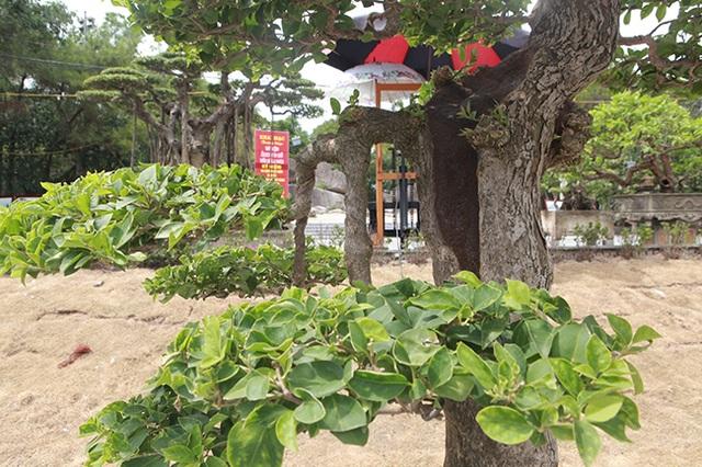 Ngắm cây hoa giấy bonsai được tạo tác như thác đổ - 9