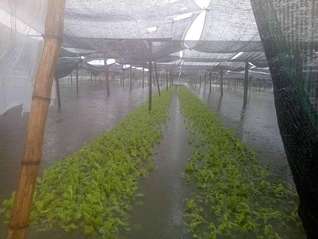 Hàng ngàn ha lúa hè thu chìm trong biển nước vì mưa lớn kéo dài - 3
