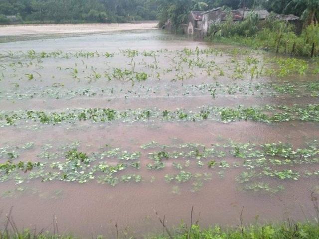 Hàng ngàn ha lúa hè thu chìm trong biển nước vì mưa lớn kéo dài - 4