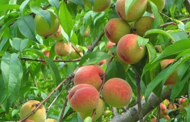 Những lợi ích sức khỏe của quả đào - 1