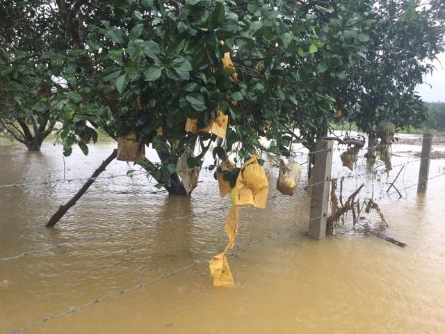 Hàng trăm hecta bưởi đặc sản chìm trong nước lũ - 7