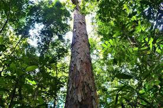 """Tìm thấy cây cao nhất trong rừng Amazon, may mắn """"thoát chết"""" khỏi trận cháy lịch sử - 1"""