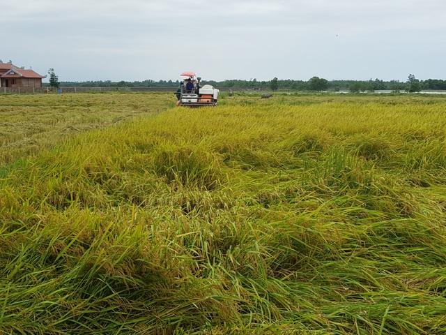"""Máy sấy chạy hết công suất """"cứu"""" hàng trăm tấn lúa ngập nước, nảy mầm - 1"""