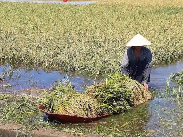 Nông dân ngậm ngùi gặt lúa về… cho gà ăn - 4
