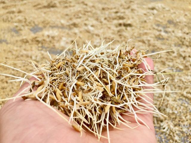 Nông dân ngậm ngùi gặt lúa về… cho gà ăn - 7