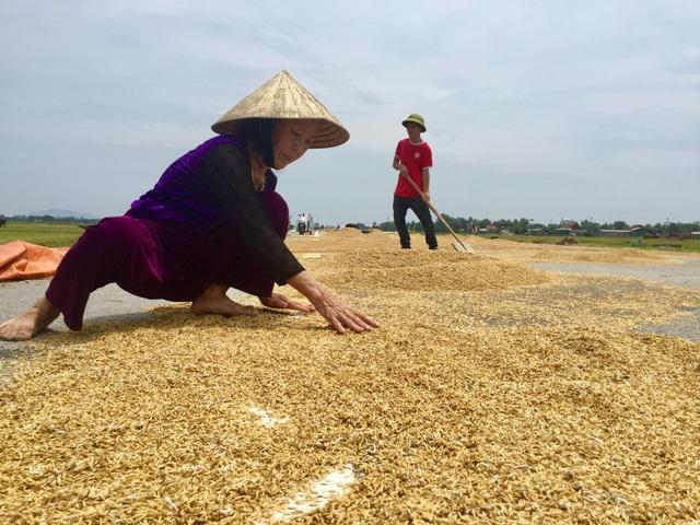 Nông dân ngậm ngùi gặt lúa về… cho gà ăn - 6