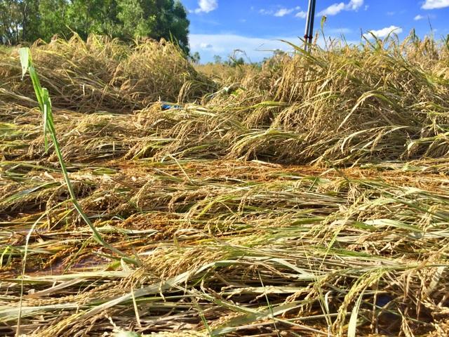 Nông dân ngậm ngùi gặt lúa về… cho gà ăn - 1
