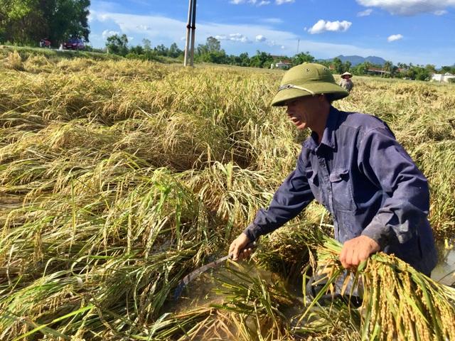 Nông dân ngậm ngùi gặt lúa về… cho gà ăn - 3