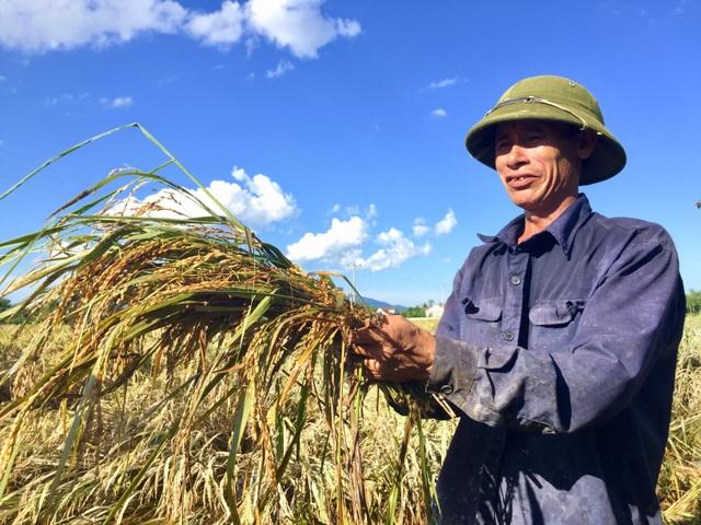 Nông dân ngậm ngùi gặt lúa về… cho gà ăn - 5