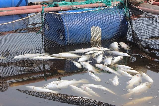 Xác định nguyên nhân khiến hàng chục tấn cá đặc sản chết trắng bè - 1