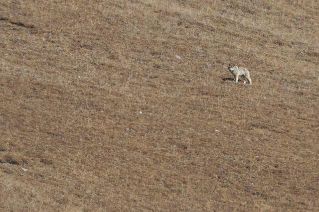 Chó ngao Tây Tạng giao phối với sói núi để tổn tại ở vùng núi cao - 2