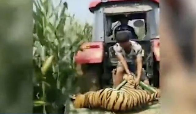 Trung Quốc: Hổ xổng chuồng ngay giữa màn trình diễn, người xem hoảng loạn chạy thoát thân - 2