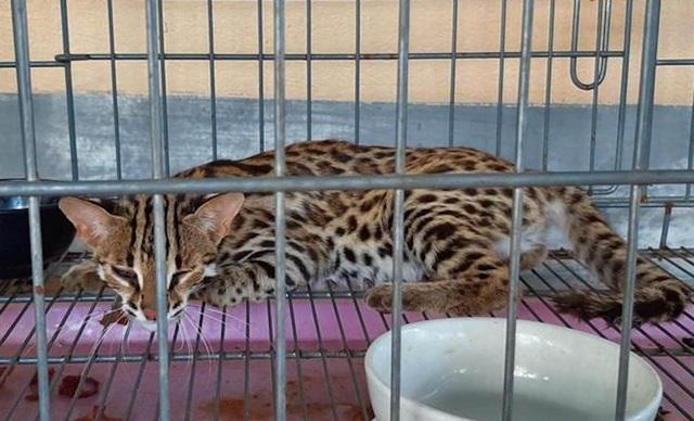Công an bàn giao cáo, mèo rừng cho vườn Quốc gia Pù Mát - 1