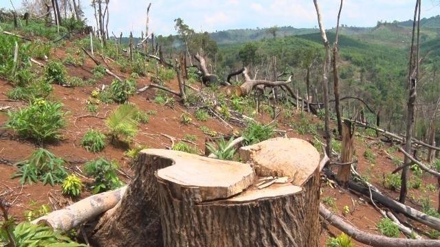 Hàng trăm hecta rừng bốc hơi sau khi doanh nghiệp thuê đất làm dự án - 1