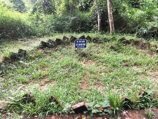 """Kỳ bí câu chuyện cây lim cổ thụ 600 năm tuổi """"hiến thân"""" tại Lam Kinh - 8"""