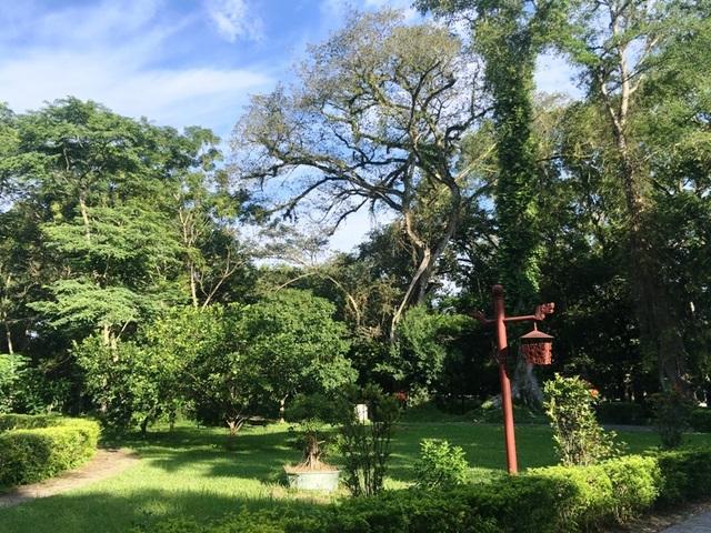 """Kỳ bí câu chuyện cây lim cổ thụ 600 năm tuổi """"hiến thân"""" tại Lam Kinh - 9"""