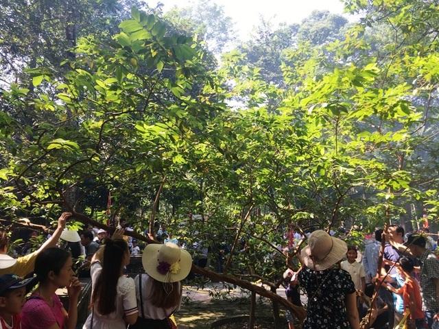 """Kỳ bí câu chuyện cây lim cổ thụ 600 năm tuổi """"hiến thân"""" tại Lam Kinh - 10"""