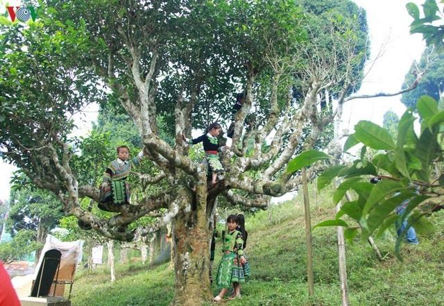 Cảnh báo cho người nước ngoài thuê cây chè cổ thụ ở Hà Giang - 1