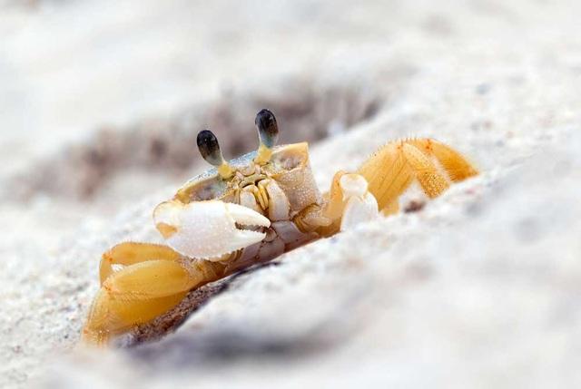 Loài cua ma kì lạ dùng răng trong dạ dày để… hù doạ đối thủ - 1