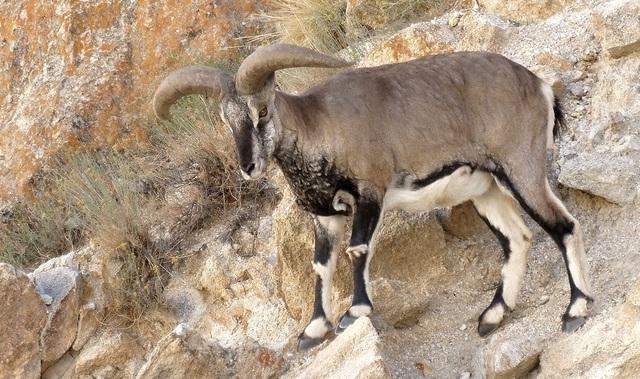 """Đàn cừu thách thức trọng lực, leo vách núi thẳng đứng thoăn thoắt như """"người nhện"""" - 2"""