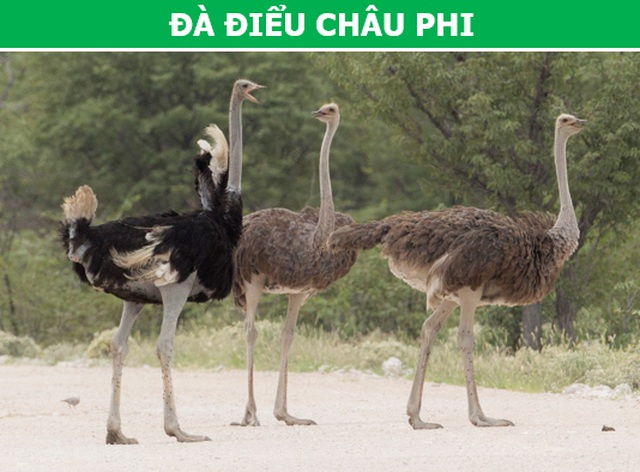 """""""Rợn người"""" với những loài chim nguy hiểm nhất thế giới (P1) - 3"""