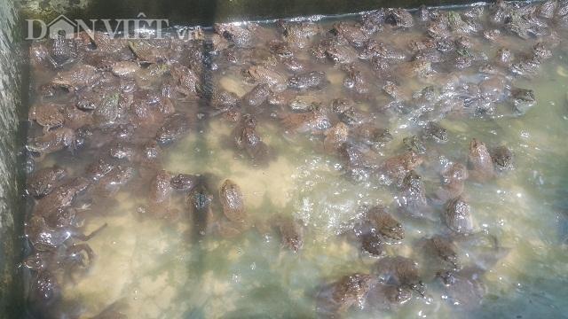 Nam Định: 8X về quê nuôi loài ếch hung dữ, kiếm 30 triệu đồng/tháng - 2