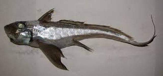 Bắt được cá hiếm có đôi mắt khổng lồ lồi to như bóng đèn - 3