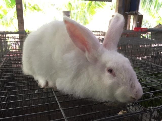 Vớt lục bình trên sông nuôi thỏ,bỏ túi 60 triệu đồng/tháng - 5