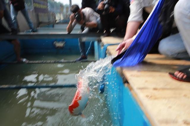 Sáng nay thả cá Koi Nhật Bản xuống sông Tô Lịch và Hồ Tây - 4