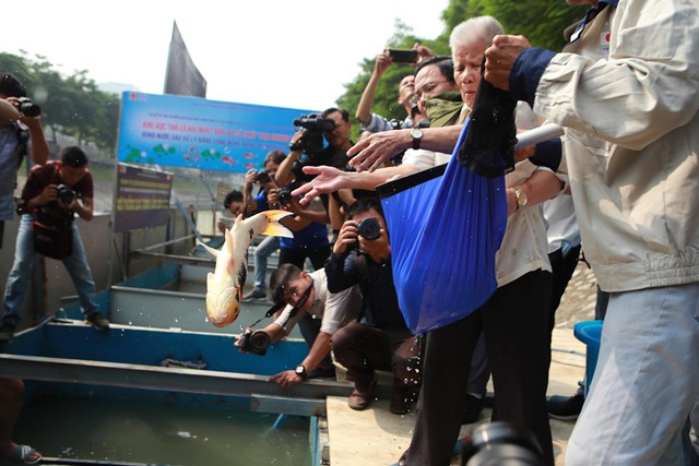 Sáng nay thả cá Koi Nhật Bản xuống sông Tô Lịch và Hồ Tây - 3