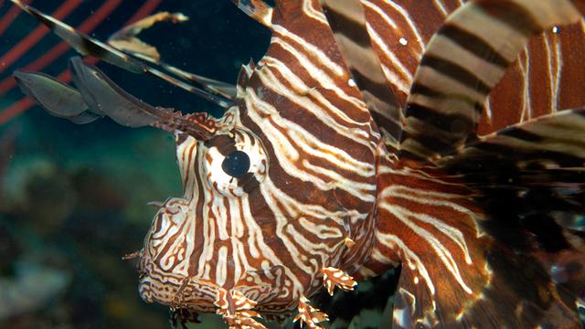 Loài cá sư tử cực độc đang xâm lấn Đại Tây Dương - 1