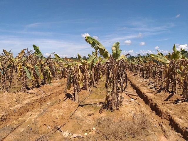 """Dồn sức cho """"canh bài"""" nông nghiệp, bầu Đức nhận tin dữ từ Lào - 3"""